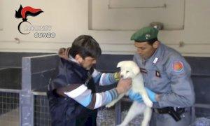 Cuneo, due allevatori a processo per la tratta dei cuccioli di cane dall'est Europa