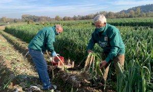 Coldiretti Piemonte, ''Agricoltura lavoro anti-covid con solo 0,3 % di contagi nelle campagne''