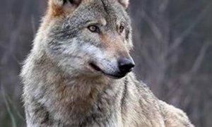 Coldiretti Piemonte, lupi: ''Bene l'apertura di un tavolo con tutte le Regioni dell'arco alpino''