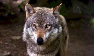 Coldiretti: ''In Piemonte censiti oltre 450 lupi, servono nuove misure''