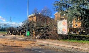 Cuneo, tarlo asiatico: si abbattono alberi in prossimità del ponte vecchio