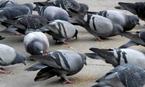 Clavesana, in frazione Madonna della Neve è vietato dare da mangiare ai piccioni