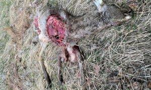 Aisone, lupo sbrana un capriolo a pochi metri dalle abitazioni.