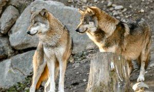 Dalla Regione 300 mila euro agli allevatori piemontesi per l'indennizzo dei danni causati dai lupi