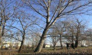 Bra, tre alberi a rischio caduta sulle sponde del rio in via Rolfo saranno abbattuti