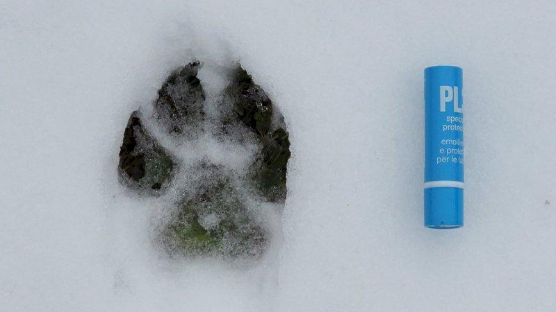 Impronta di lupo - foto A. Rivelli