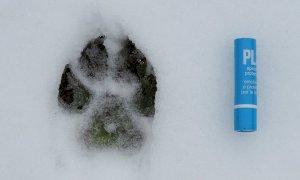 Life Wolfalps EU: conclusa la prima fase del monitoraggio nazionale del lupo