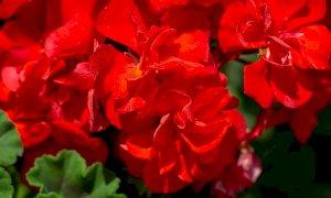 """""""Coloriamo di fiori la Valle Pesio"""": oltre un migliaio di gerani rossi su balconi e finestre"""