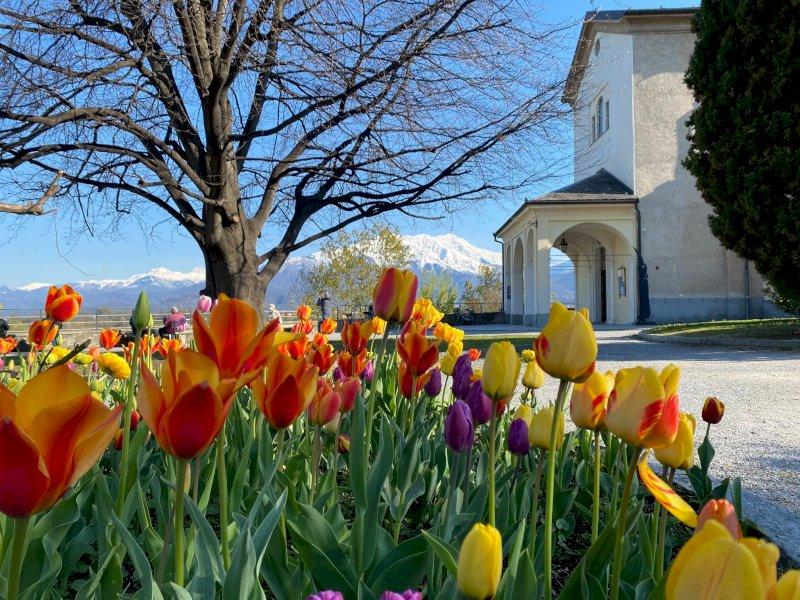 Cuneo, anche nell'aiuola degli Angeli i tulipani del castello di Pralormo