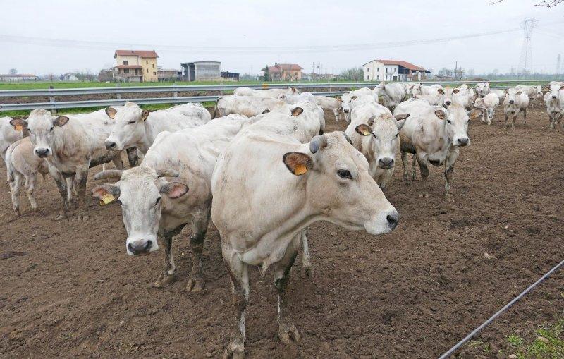 """Carni cuneesi sostenibili e di assoluta qualità, il """"Farm to Fork"""" tra preconcetti e paradossi"""