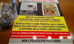 Cuneo, in via Circonvallazione Nord si abbattono le piante affette dal tarlo asiatico