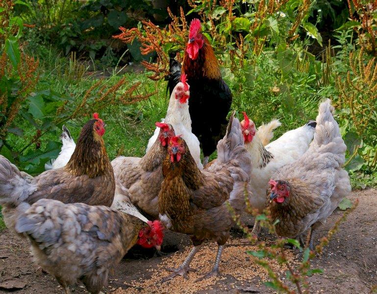 Non è reato rincorrere le galline nella proprietà del vicino: assolto un villanovese
