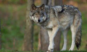Dalla Regione 300 mila euro per gli allevatori danneggiati dai lupi: aperto il bando