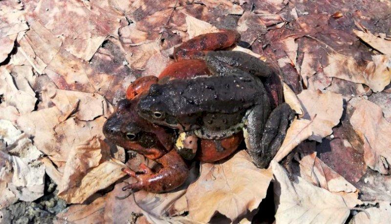 Un virus fa ammalare la rana temporaria nel Parco del Mercantour