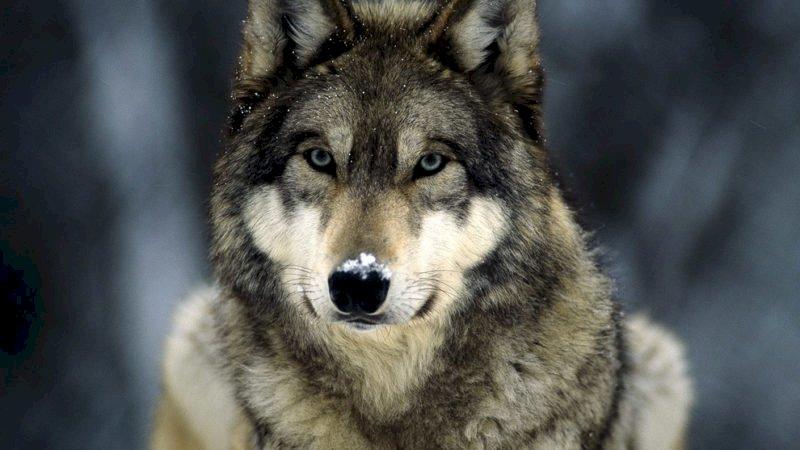"""Carosso: """"Non perderemo i fondi Ue per la tutela del lupo"""""""