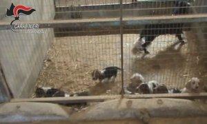 Sessanta cuccioli nell'allevamento-lager alle porte di Cuneo: finiscono a processo in due