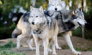 Contributi dalla Regione agli allevatori piemontesi per i sistemi di protezione dai lupi