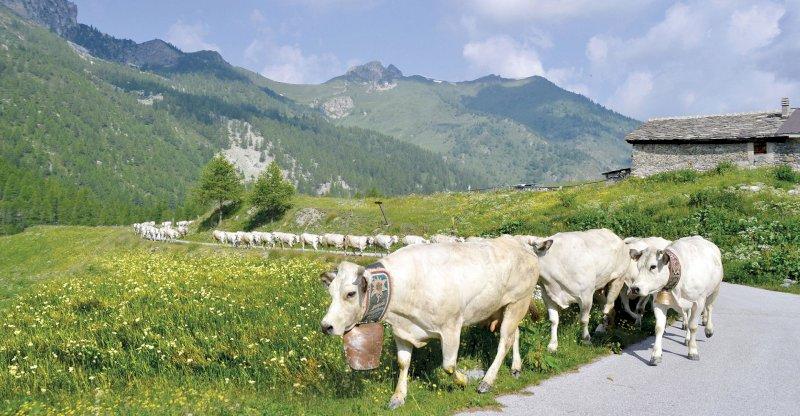 Nella settimana di San Giovanni si conclude la transumanza: nella Granda 100 mila bovini saliti ai pascoli