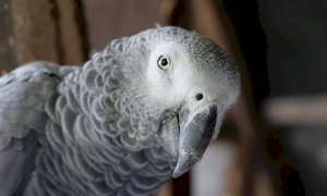 Cuneo, la battaglia per il sequestro di un pappagallo finisce in tribunale