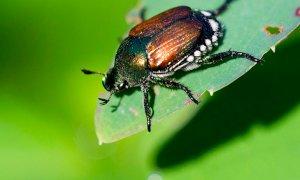 La Regione Piemonte impegnata nel contenimento di un insetto che spaventa gli agricoltori