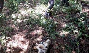 I vigili del fuoco salvano una mucca a Chiusa Pesio