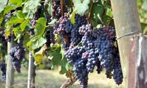 Vendemmia, riparte la rilevazione dei prezzi delle uve da vino Doc e Docg