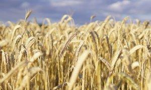 Grano Piemonte, per il progetto di filiera di Coldiretti è iniziato il secondo anno di semine