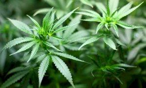 Cannabis legale, Rifondazione Comunista invita a firmare per il referendum