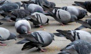 A Cuneo c'è un problema con i piccioni?