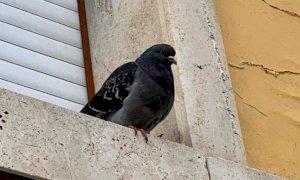 Ora a Cuneo i piccioni sono un problema: