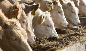 Confagricoltura Piemonte chiede alla Regione un piano straordinario per sostenere gli allevamenti bovini