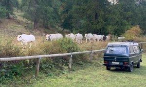 """Domani in programma """"Caluma el vache"""" evento a sostegno dei malgari e dell'agricoltura di montagna"""