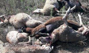 Otto pecore sbranate in un allevamento di Carrù