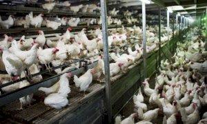 Crisi avicola, Coldiretti chiede un tavolo di confronto in Regione