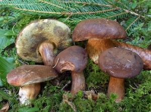 Funghi: l'Asl sconsiglia il consumo di alcune specie